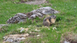 Siviez: des marmottes à observer pendant la Fête de la nature