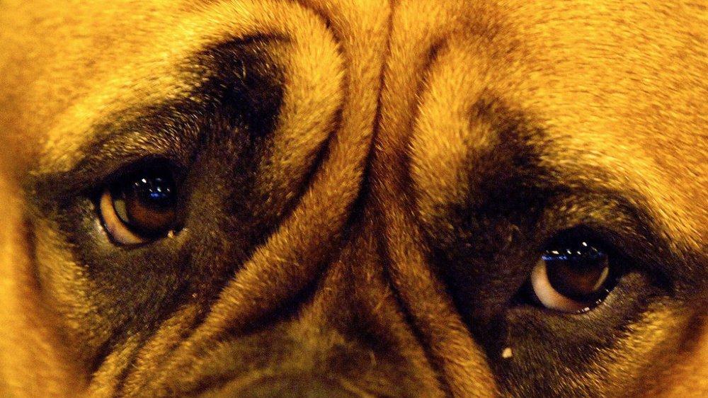 Pourquoi le regard de votre chien vous fait craquer? Des chercheurs pensent avoir la réponse