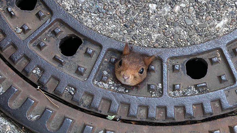 La tête de l'écureuil était restée bloquée dans une plaque d'égout de la ville de Dortmund, en Allemagne.