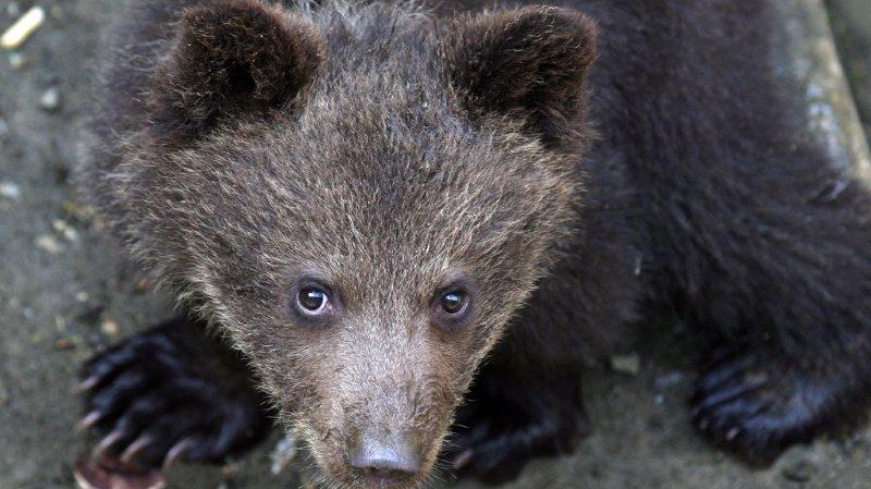Il y a une semaine, l'ourson, qui errait sans sa mère à proximité d'un village, avait été recueilli par des agents de l'Office national de la faune et de la chasse. (illustration)