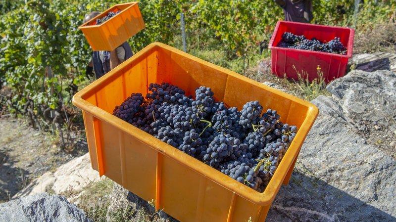 En 2019, les vignerons pourront commercialiser moins de raisin AOC que ces dernières années.
