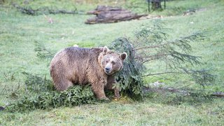 Haut-Valais: un ours observé par un automobiliste dans le Binntal