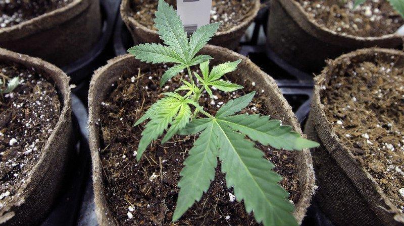 La question du remboursement du cannabis médical par l'assurance maladie reste ouverte. (Illustration)