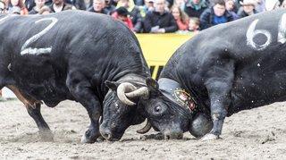 Quatre projets pour célébrer les 100 ans de la Fédération suisse d'élevage de la race d'Hérens