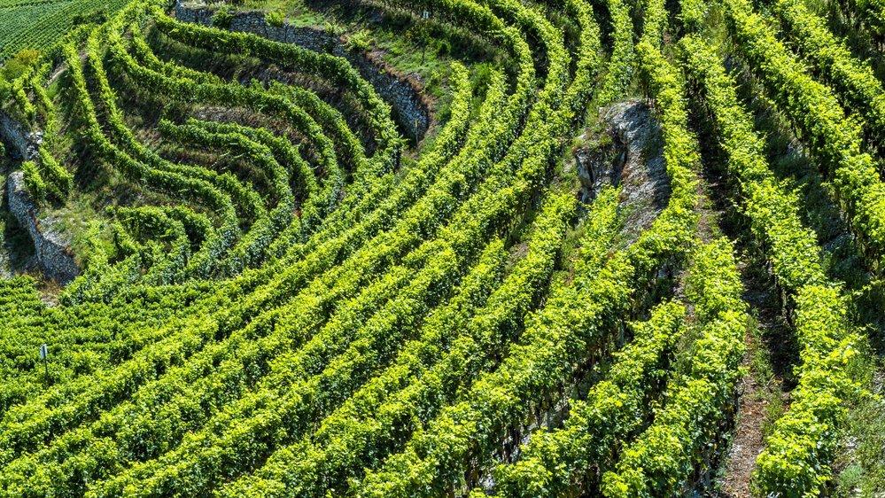 Dans les vignes valaisannes, l'herbe gagne toujours plus de terrain. Les encaveurs suggèrent de communiquer sur cette réalité, pour attirer des clients sensibles à l'écologie.