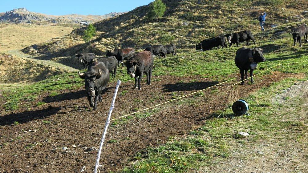 Ce sont majoritairement les bactéries du bétail ou du gibier qui contaminent le réseau d'eau potable. En Valais, 80% de l'eau provient des sources de montagne.