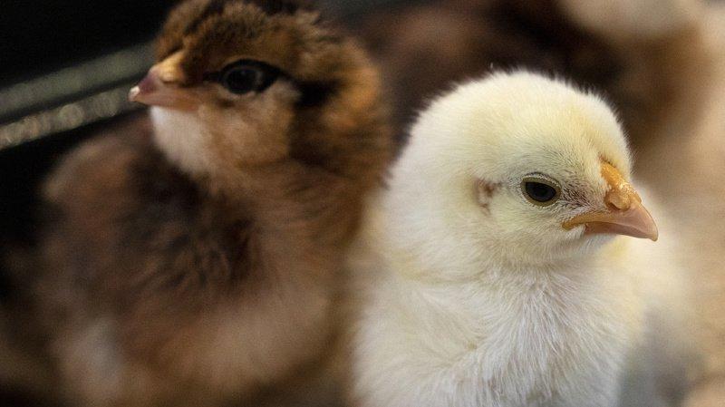 Protection des animaux: les poussins ne devraient plus être broyés vivants
