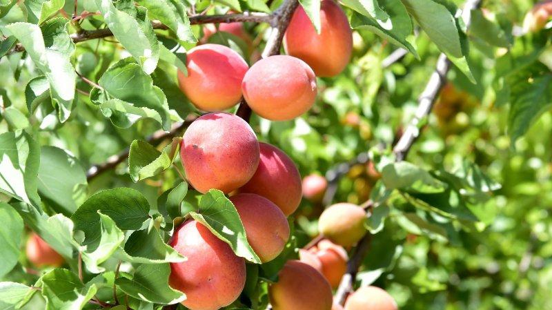 Grâce à son climat favorable, le Valais est une terre propice à la culture des abricots.