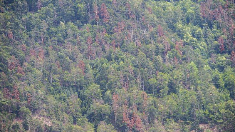 Valais: après les pins, les sapins meurent