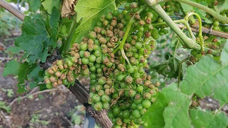 Grêle: des vignes touchées, mais «pas de dégâts significatifs en Valais»