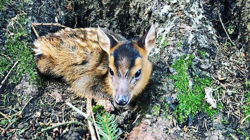 Le bébé muntjac est le deuxième né cette année au zoo des Marécottes.