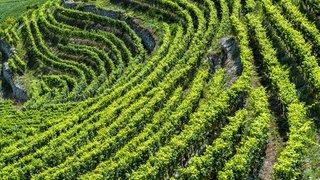 Valais: en difficulté, le monde du vin veut miser sur la proximité et une image écolo