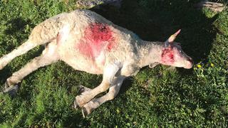 Moutons tués à Zinal: les morsures sont celles d'un loup