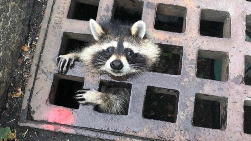Suspendu au-dessus des égouts, la tête coincée, l'animal tentait de s'accrocher à la grille avec ses petites pattes.