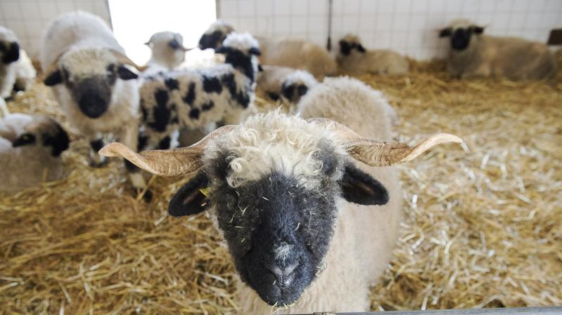 Petits ruminants et alpages seront au centre de l'attention de la nouvelle station d'essais agricoles.