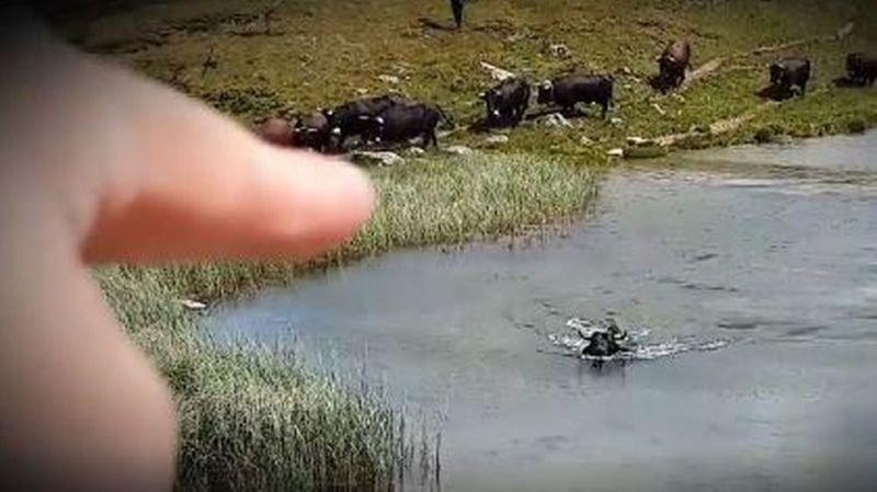 Cette vache de la race d'Hérens a choisi de pratiquer un peu de natation.