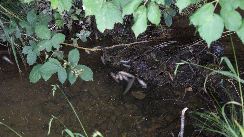 St-Gall: 250 poissons retrouvés morts dans un ruisseau