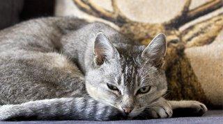 Climat: un chat produirait chaque année autant de CO2 qu'un avion sur 1311 km, selon un expert suisse