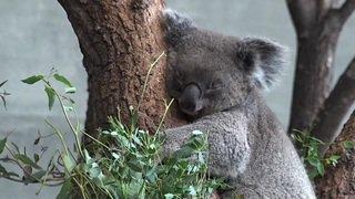 Deux femelles koalas rejoignent les deux mâles du zoo de Zurich