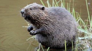 Bienne: effrayé, un castor mord un nageur dans le canal de Nidau-Büren