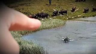 Valais: une Hérens traverse un lac à la nage