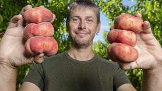 Le Valais mise sur la pêche plate française pour prolonger la saison de l'abricot