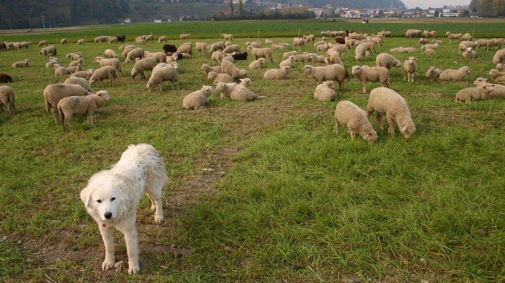 Le chien de montagne des Pyrénées, appelé patou, est l'une des races dressées pour protéger les troupeaux contre le loup.