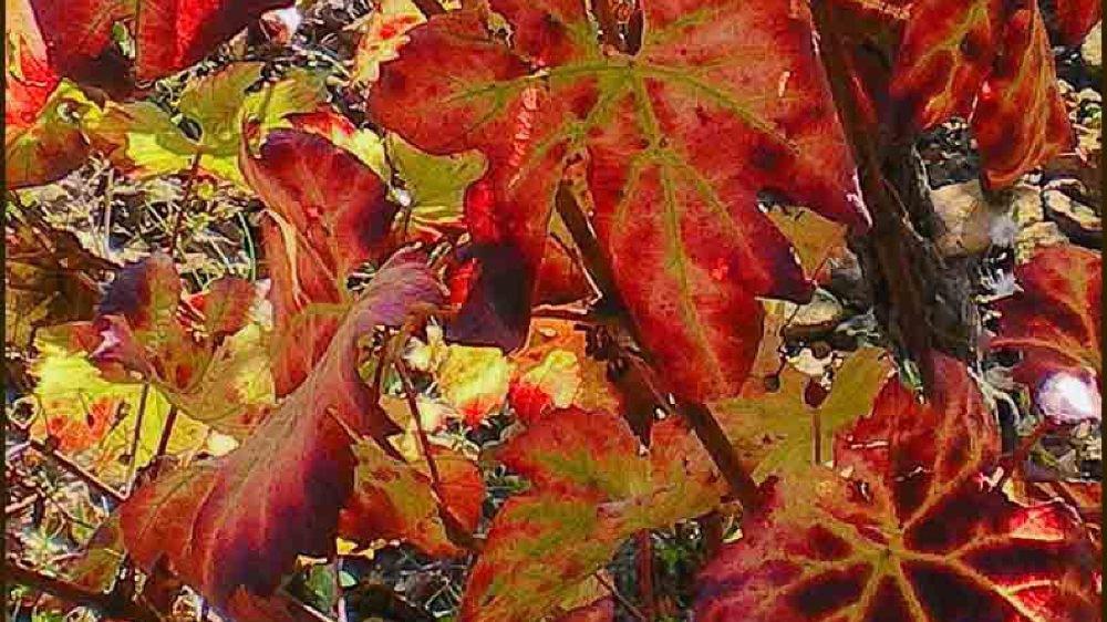 En automne, les feuilles de la Vitis vinifera rougissent, avant de tomber.