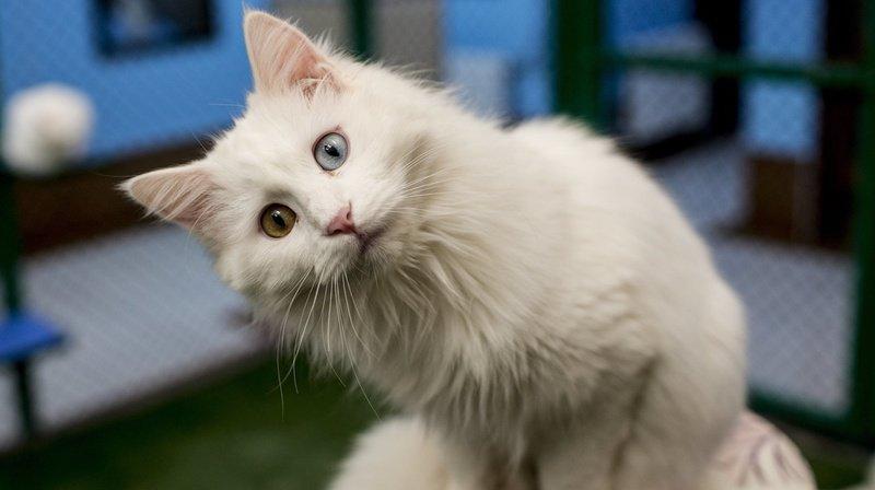 Des chercheurs suisses ont trouvé un vaccin contre les allergies aux chats