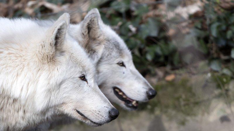 Animaux: les deux derniers loups du zoo de Bâle, trop vieux, ont été endormis