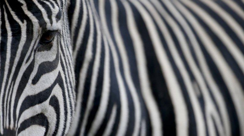 La maman, elle, porte les zébrures caractéristiques de ces herbivores d'Afrique.