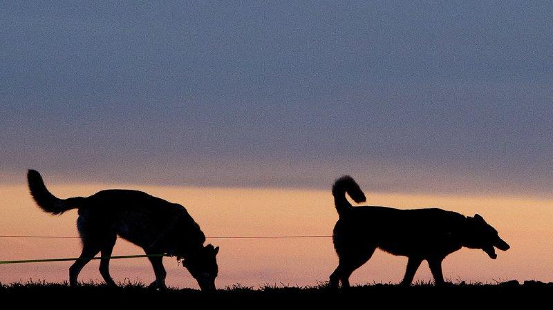 Norvège: une maladie mystérieuse parfois mortelle se répand chez les chiens