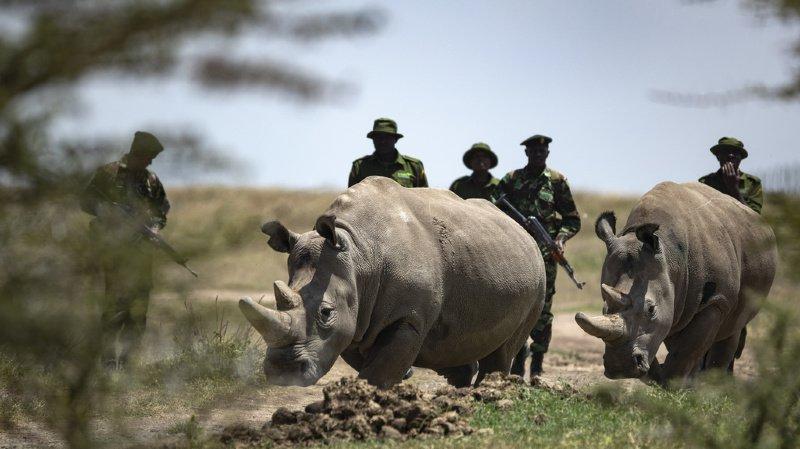 Najin et Fatu sont les deux dernières femelles rhinocéros blancs du Nord de la planète.