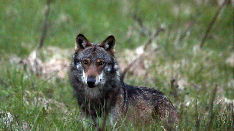 Tirs facilités du loup, du lynx ou de l'ours: le peuple suisse votera