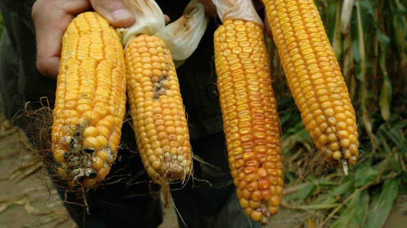 En Suisse, différents produits OGM sont actuellement autorisés dans le domaine alimentaire. (Illustration)