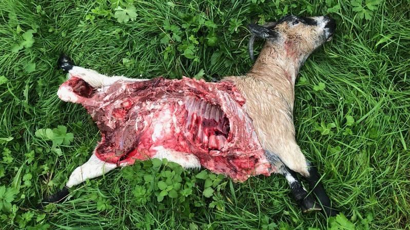 Une des chèvres victimes du loup.
