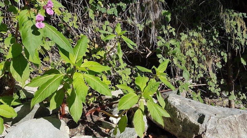 Valais: que faire contre les plantes néophytes envahissantes qui mettent en péril la biodiversité?