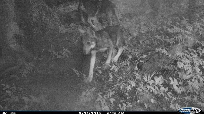 En août, une vidéo confirmait la présence d'une meute de loups avec reproduction dans les vallons des communes de Vionnaz et de Vouvry, dans le Chablais valaisan.