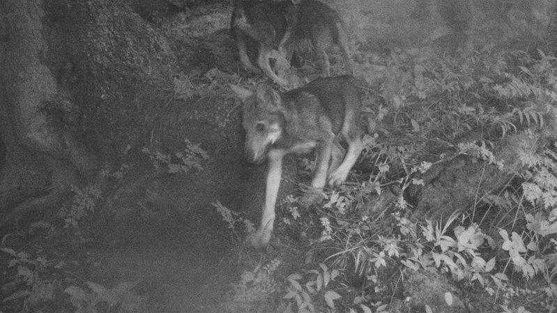 Une meute de dix loups est confirmée dans le Chablais