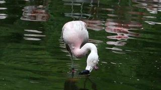 Naissance rare de bébés flamants roses au zoo de Zurich