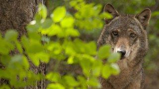 Loup: les moutons attaqués dans le Val d'Illiez n'étaient pas assez protégés