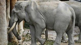 Zoo de Zurich: Maxi, l'éléphant d'Asie, fête ses 50 ans
