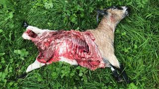 Chablais: deux chèvres tuées par un loup