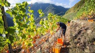 Valais: vignerons et encaveurs jouent la carte de l'apaisement à la veille des vendanges 2019