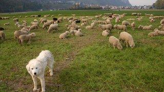 Loup: un an pour obtenir un chien de protection