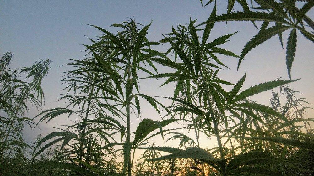 L'odeur du cannabis est particulièrement forte en période de floraison, soit quatre à cinq semaines par année. (image d'illustration)