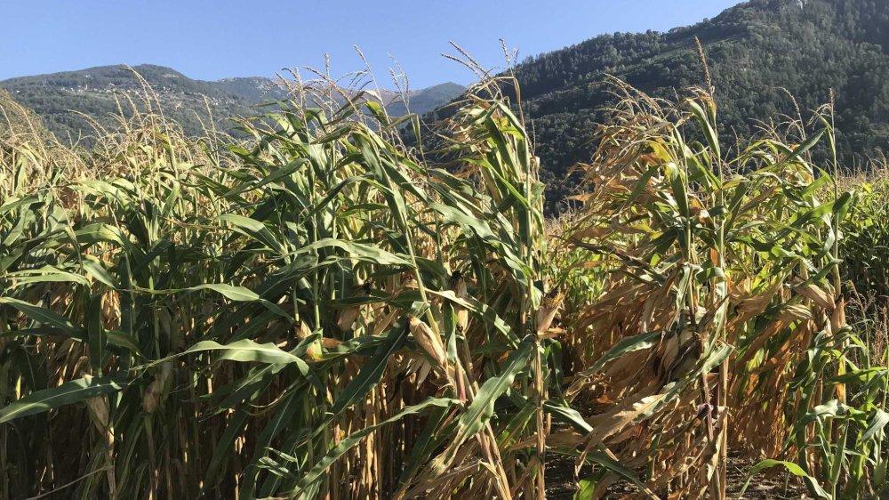 Le maïs ne pourra pas être replanté en 2020 dans cinq districts du Valais romand.