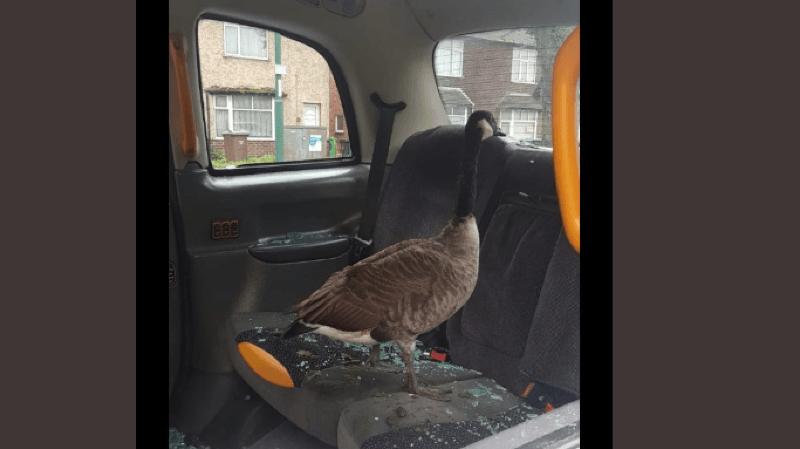 L'oie s'est installée sur la banquette arrière après avoir brisé une vitre.