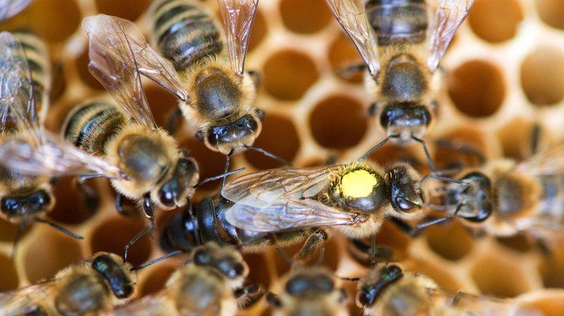 Les abeilles ont été empoisonnées par du Fipronil. (Illustration)