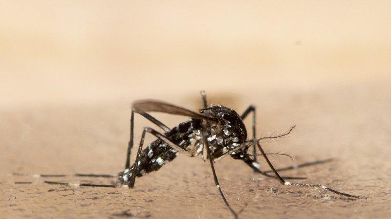 Genève: le moustique-tigre s'est installé en ville